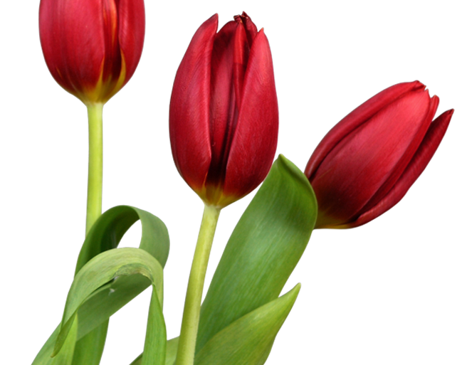 Công nghệ trồng hoa Tulip hiện đại